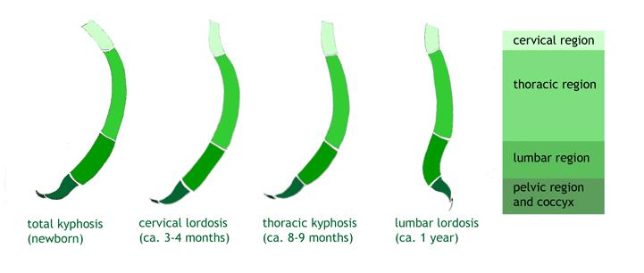 vývoj detskej chrbtice
